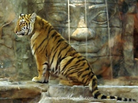 The tigress of the TSUM mall - to become part of the Plovdiv Zoo...