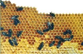 Traditionelle Bienezucht- und Honigherbstmesse eröffnet