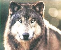 WOLF DAYS - February 2-3
