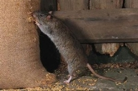 MISCHINDEN  (Mäusetag)